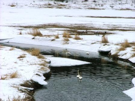 Caribou creek with arctic swans
